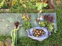 4th oct 2015 harvest at allotment