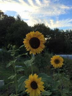 best pic of the giant sunflowers on allotment mid sept 2015