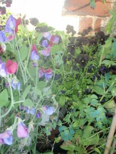 black pansies and sweet peas