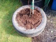 rescued tyre from ski village road and turned it into a support starter bed for a new tree