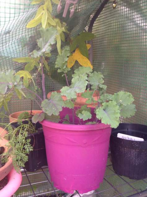 purple kale growing with passionflower in greenhouse