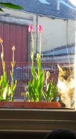 tulips in window box and cat