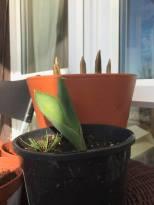 Tulips 3